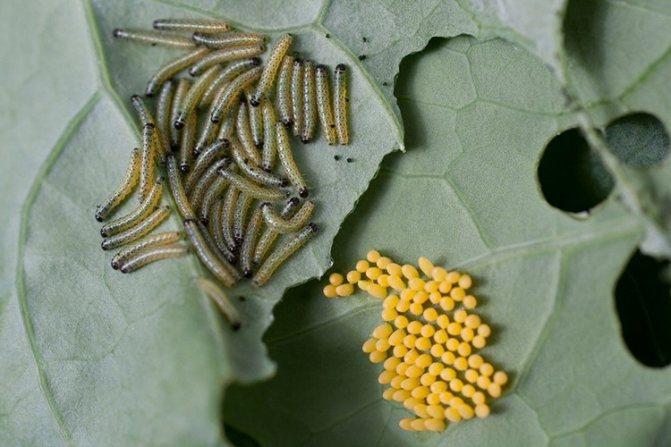 Яйца и гусеницы капустной белянки