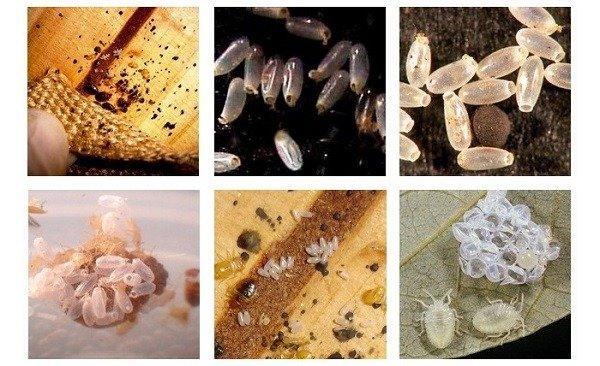 Яйца и личинки (нимфы) постельного клопа