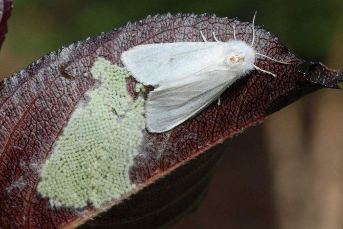 Яйцеклад Американской белой бабочки