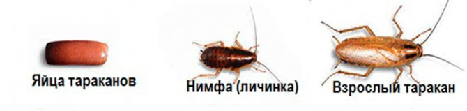 яйцо, нимфа, взрослый таракан