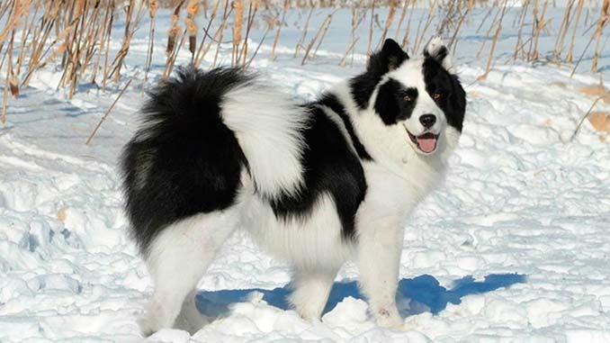 якутская лайка в снегу фото
