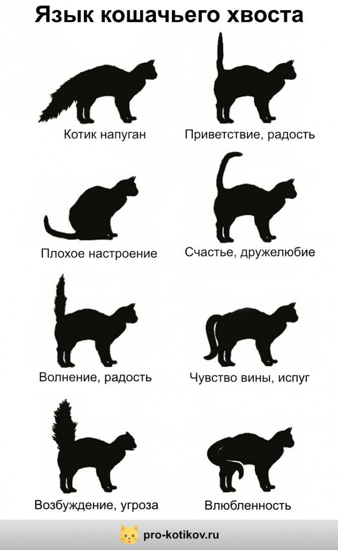 язык кошачьего хвоста инфографика
