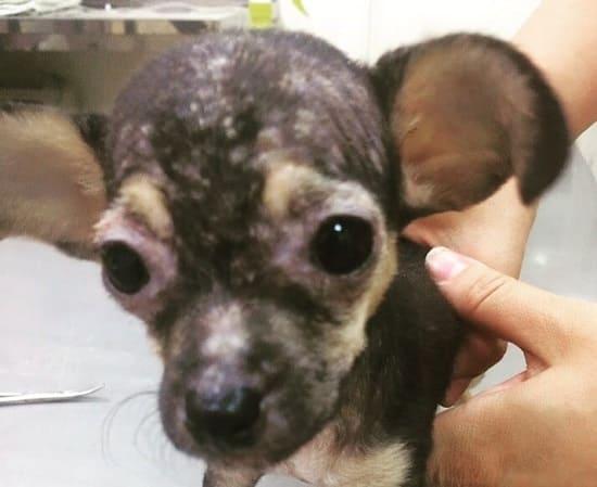 Ювенильный генерализованный демодекоз у щенка