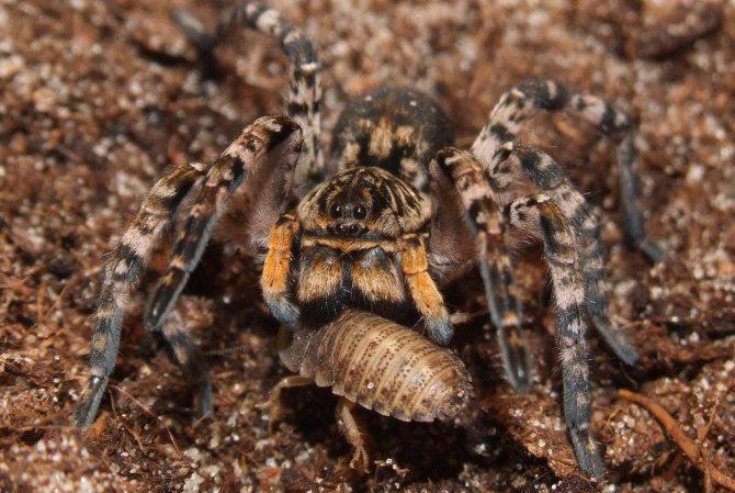 Южнорусский тарантул
