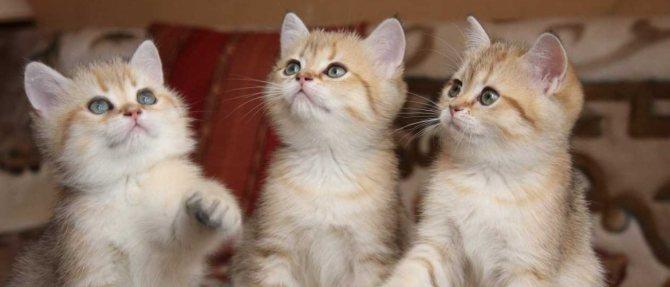 За сколько дней до прививки глистогонить кошку