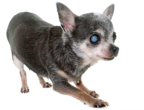 заболевание глаз у собак: катаракта
