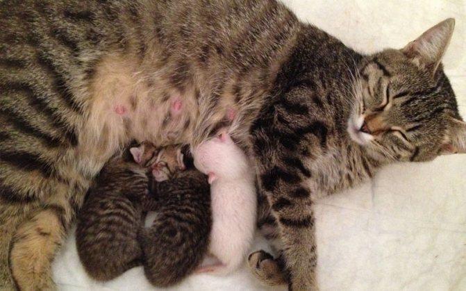 Заболевания, которые могут заставить кошку отказаться от котят