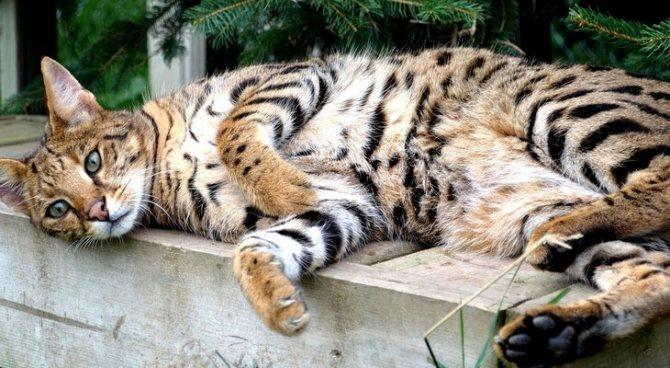 Забота о коте породы Ашера