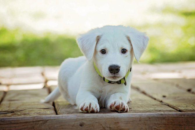 зачем делать прививки щенку