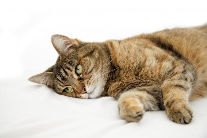 запах изо рта у кошек из-за проблем с внутренними органами