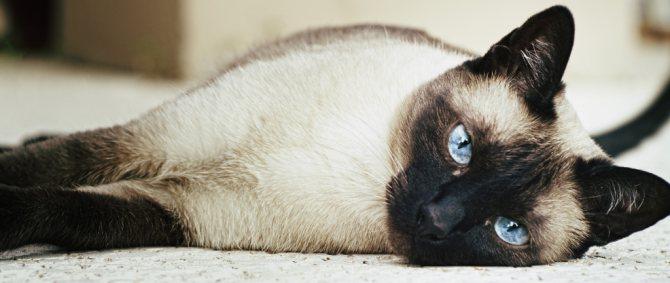 Здоровье сиамской кошки