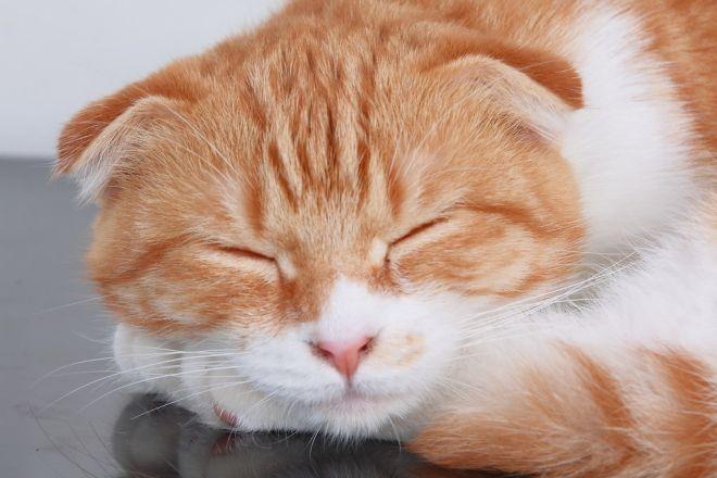 Здоровый шотландский котик