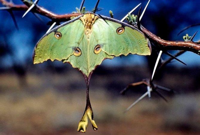 Зеленая ночная бабочка