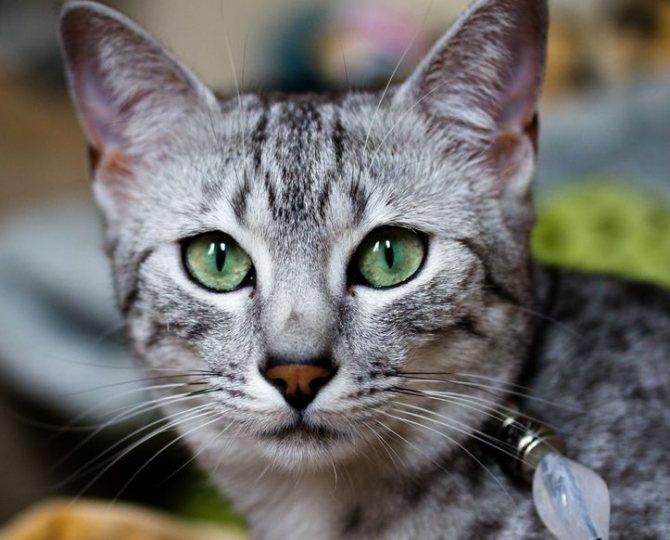 зеленые глаза мау