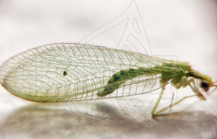 Зеленые мошки с прозрачными крыльями - златоглазка