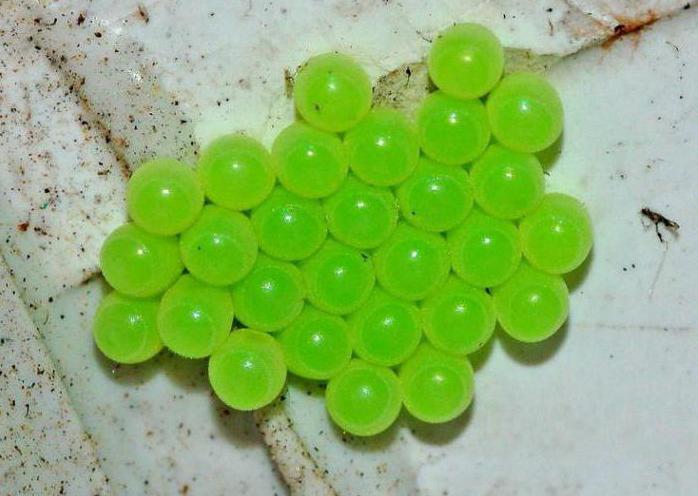 Зеленый клоп фото