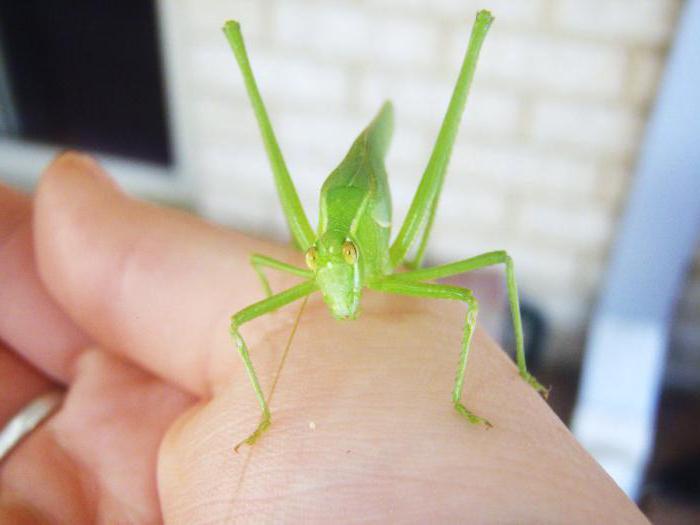зеленый кузнечик