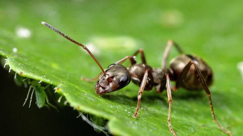 Земляной муравей