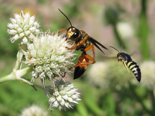 земляные осы как избавиться