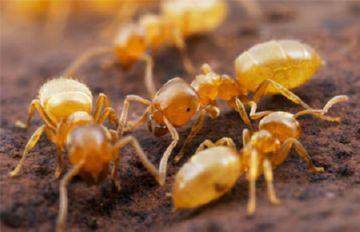 Желтый луговой муравей