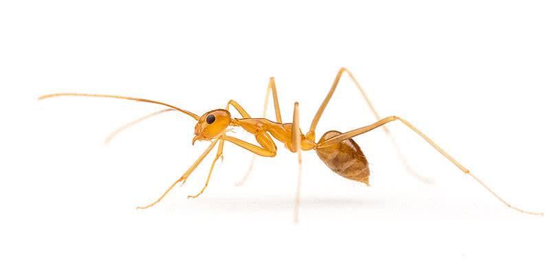 Жёлтый муравей