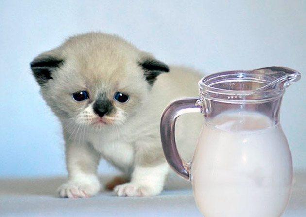 Желудок котенка более приспособлен для молока