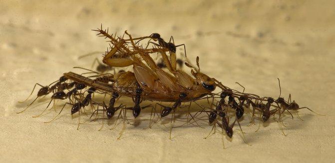 живут ли тараканы где живут муравьи