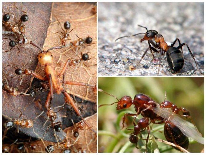 Интересные факты о рыжих лесных муравьях: особенности их жизни, размножения и мест обитания