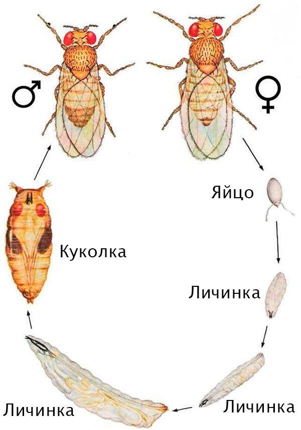 Жизненный цикл и развитие мухи дрозофилы, размножение и стадии развития
