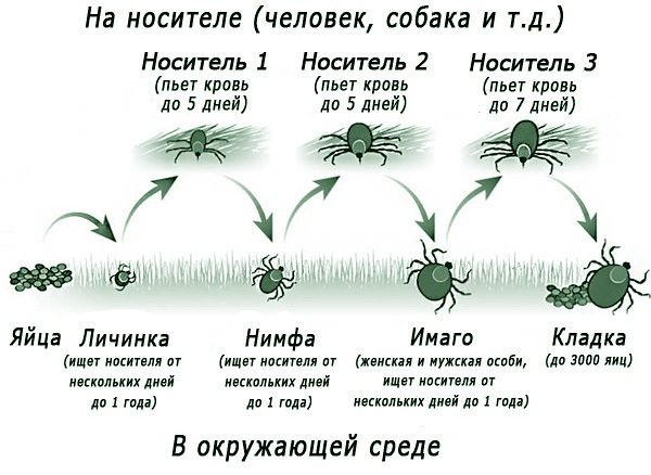 Жизненный цикл клеща