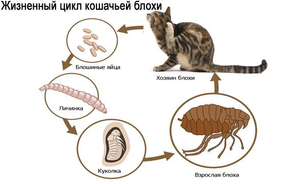 Жизненный цикл кошачьей блохи