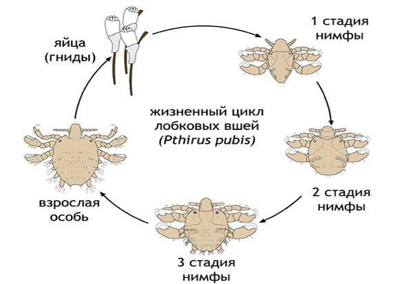 Жизненный цикл лобковых вшей