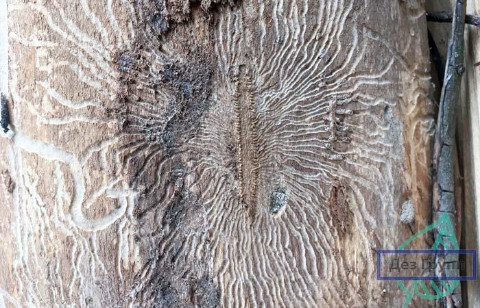 Жук короед украсил дерево