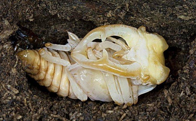 Жук-олень. Куколка (Lucanus cervus).jpg