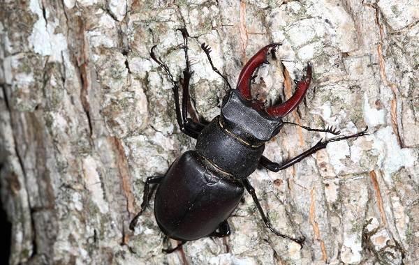 Жук-олень-насекомое-Описание-особенности-виды-поведение-и-среда-обитания-жука-оленя-5