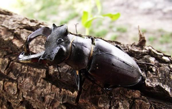 Жук-олень-насекомое-Описание-особенности-виды-поведение-и-среда-обитания-жука-оленя-4