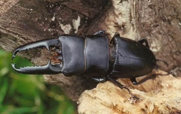 Жук-олень-насекомое-Описание-особенности-виды-поведение-и-среда-обитания-жука-оленя-16