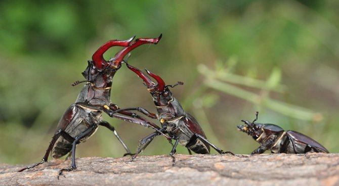 Жуки-олени воюют за самку.jpg