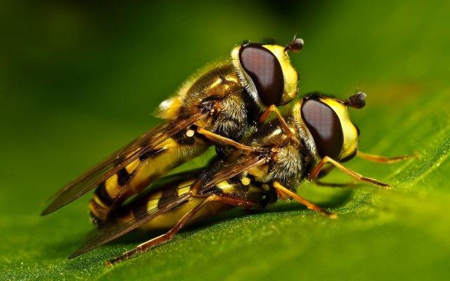 Журчалка самая необыкновенная муха