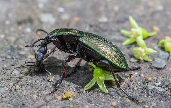Жужелица-насекомое-Описание-особенности-виды-образ-жизни-и-среда-обитания-жужелицы-10