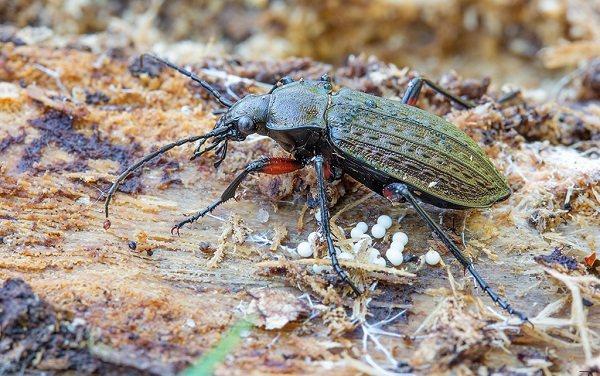 Жужелица-насекомое-Описание-особенности-виды-образ-жизни-и-среда-обитания-жужелицы-14