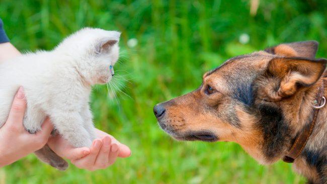знакомство овчарки и котенка