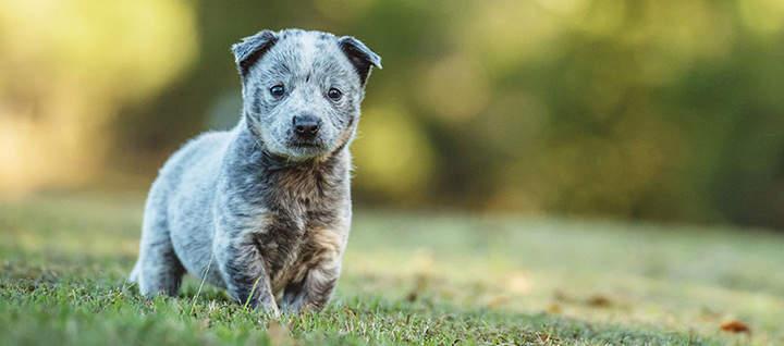 Знакомство с семьей щенка - неотъемлемый и важный ритуал перед покупкой