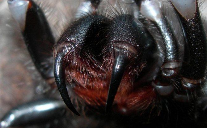 зубы паука